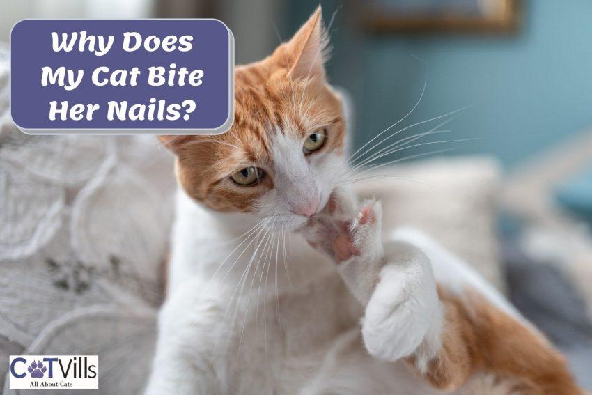 orange cat biting her nails