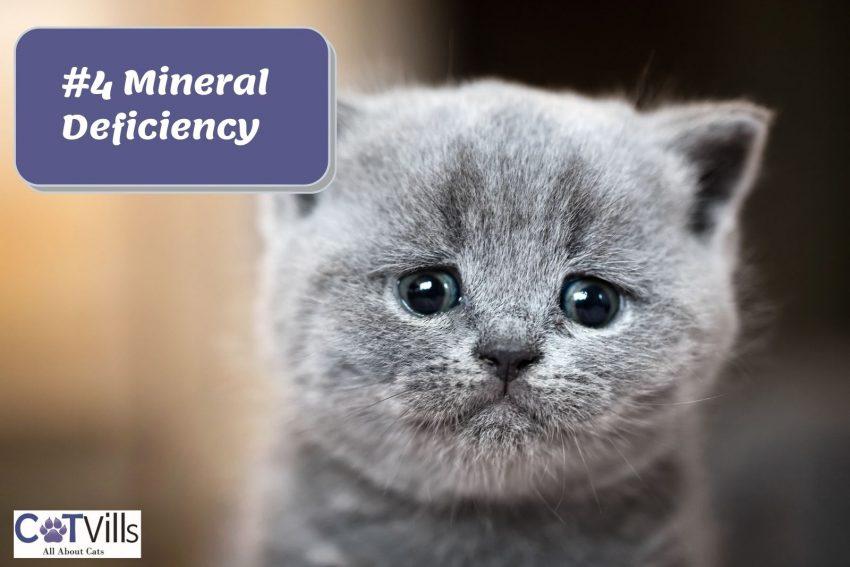a sad grey kitten