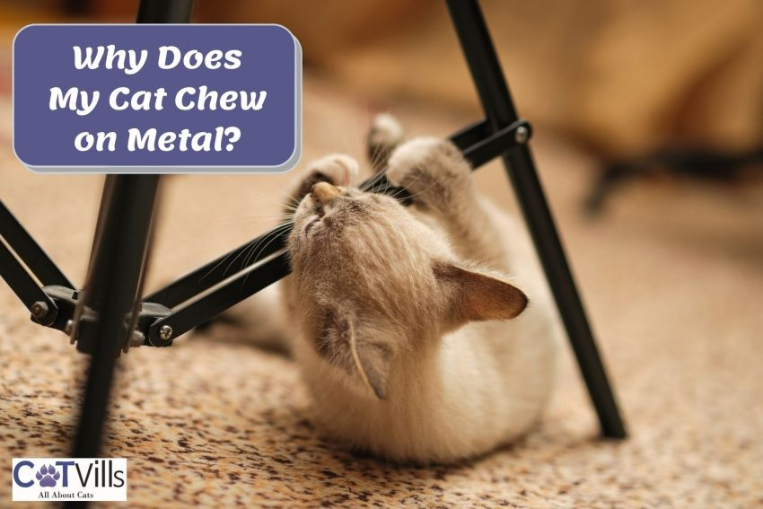 brownish cat chewing on metal chair: why does my cat chew on metal?