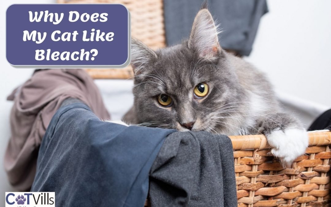 Why Do Cats Love Bleach? (How to Protect Them)