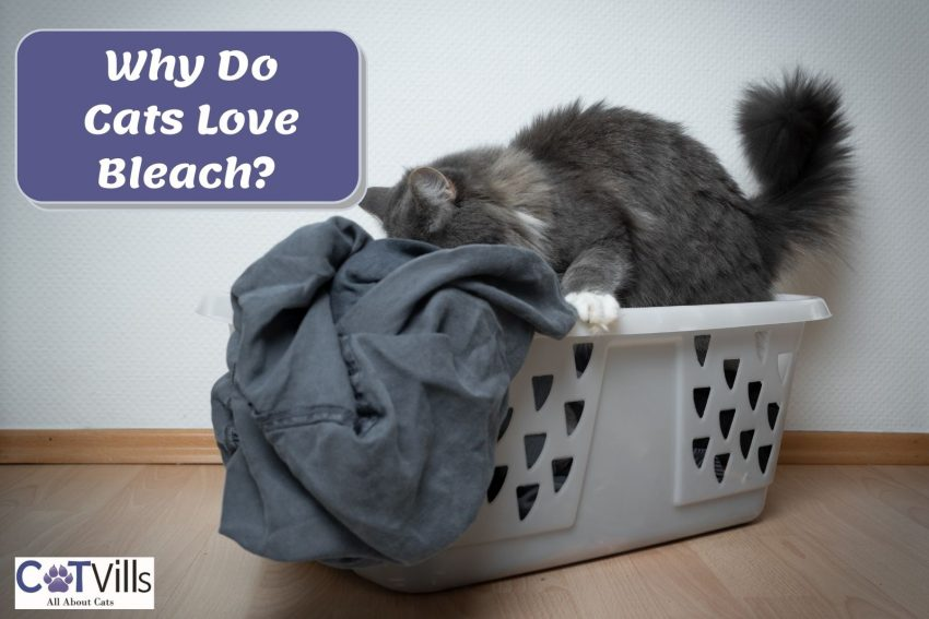 a gray cat smelling clothes in the laundry basket: Why Does My Cat Like Bleach?