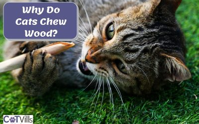 Why Does My Cat Chew On Wood? (4 Ways To Prevent It