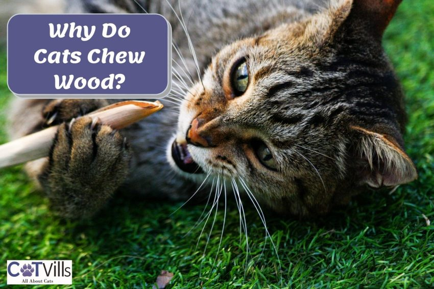Cat chewing on a stick with text why do cats chew on wood