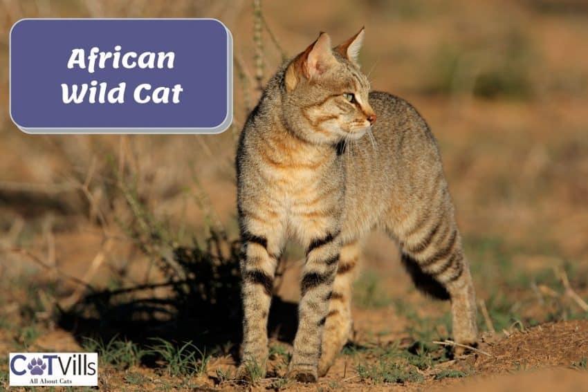 a tall African wild cat