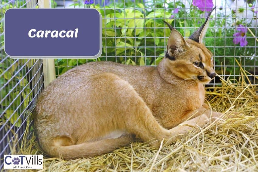 Caracal cat resting on a cage