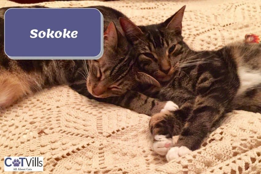 two Sokoke cats sleeping
