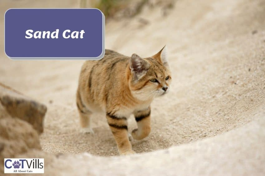a small san cat gracefully walking in the desert