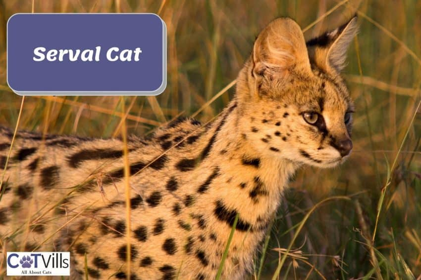 side view of a serval cat