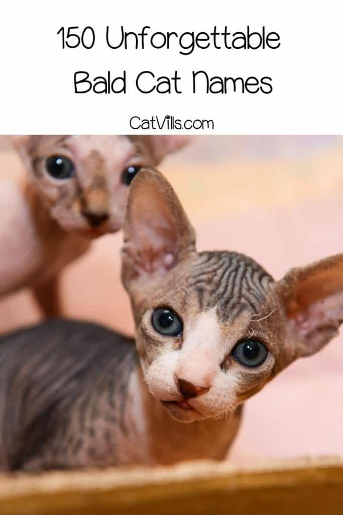two Sphynx kittens suitable for bald cat names