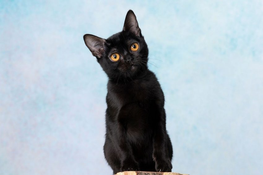 Bombay cat, one of the cat breeds that start with b