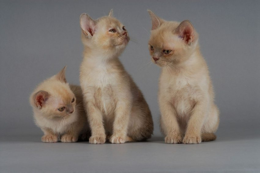 three burmese kittens
