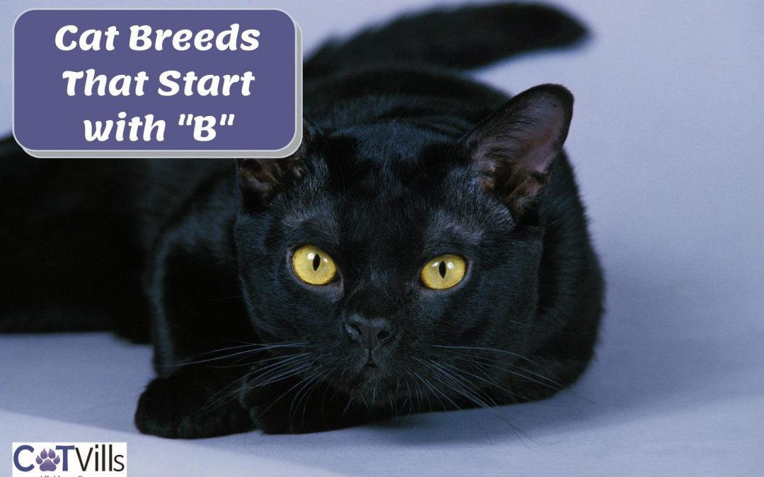 4 Popular Cat Breeds That Start With B