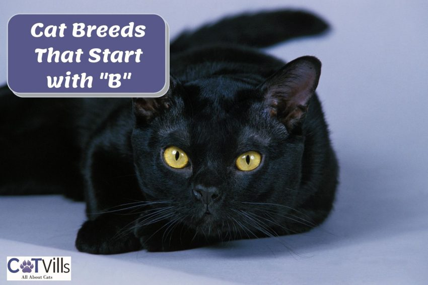 """bombay cat with text """"cat breeds that start with b"""""""