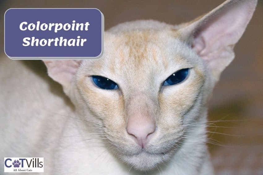 colorpoint shorthair with bright blue eyes