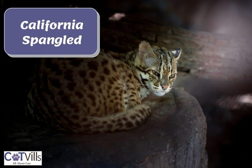 California spangled cat sitting on top a large block of stone