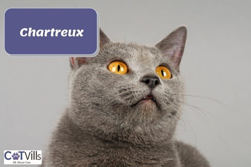 A very cute Cornish rex cat