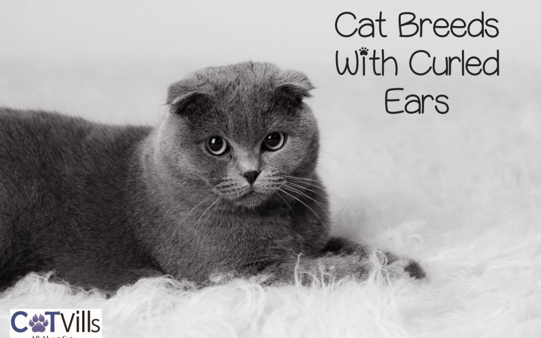 6 Adorable Breeds of Cats With Curly Ears