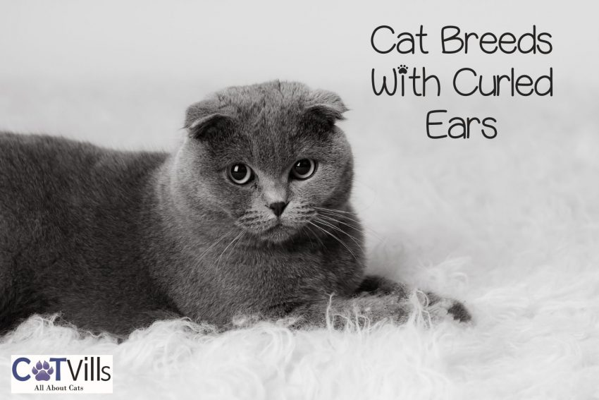 cat breeds with curled ears