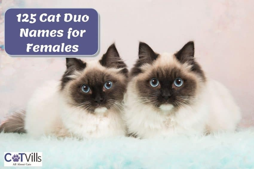 brother and sister ragdoll cats suitable for cat duo names