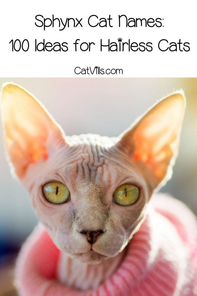 gorgeous sphynx cat with clothes on