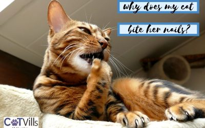 4 Reasons for Abnormal Nail-Biting in Cats + Prevention