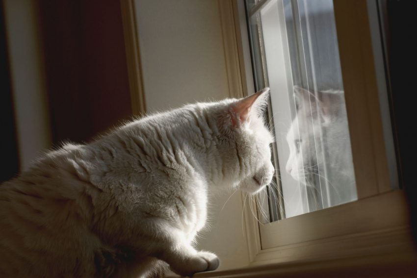 white cat looking outside the window