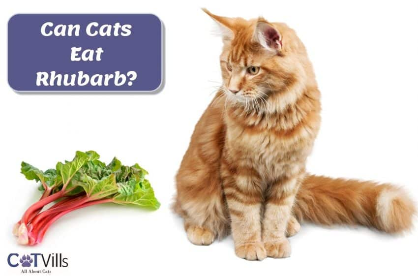ginger cat looking at the rhubarb: can cats eat rhubarb safely?