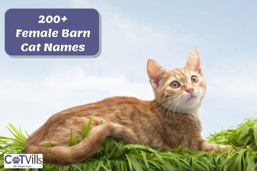 female ginger cat with