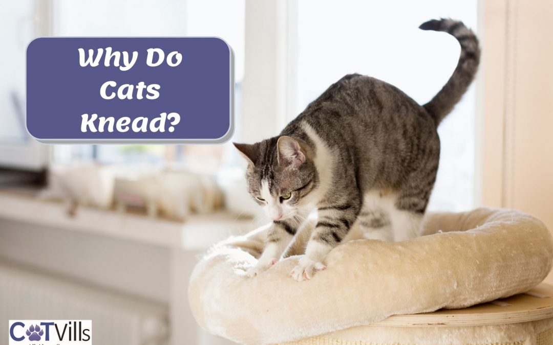 Why Do Cats Knead Their Owners and Other Things?