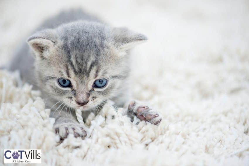 kitten kneading a blanket