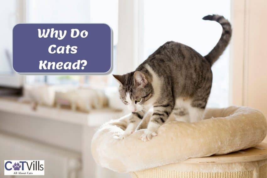 a cute cat stretching and kneading her cat bed but why do cats knead?