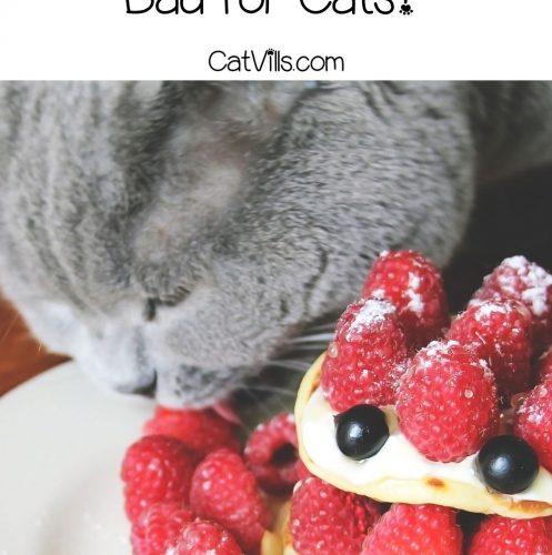 grey cat licking raspberry cake