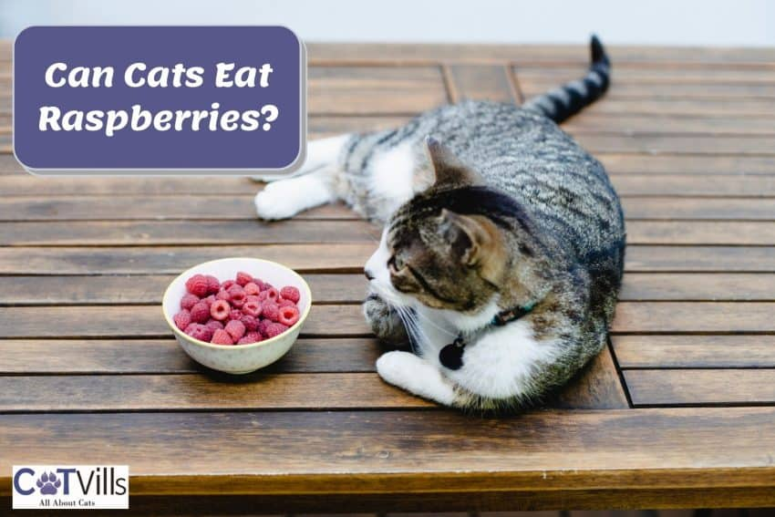 cat lying beside a bowl filled with raspberries but Can Cats Eat Raspberries?