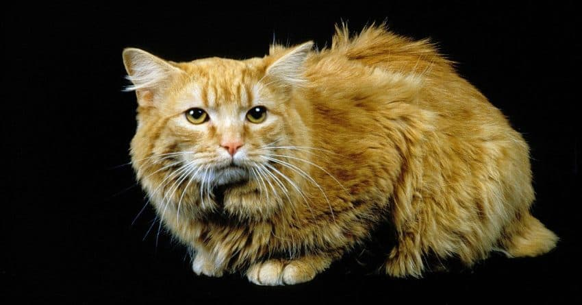 Cymric cat breed, one of the most aggressive cat breeds