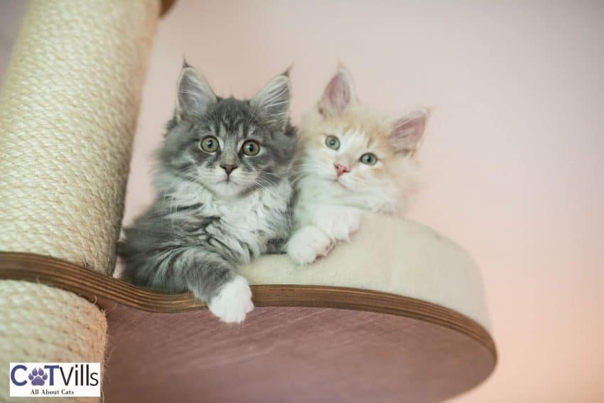 two kittens relaxing on top of a DIY cat tree