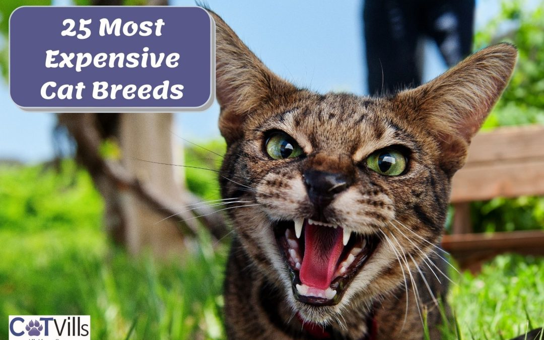 25 Most Expensive Cat Breeds in the World (2021 Guide)