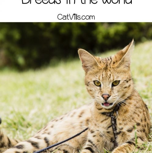 Savannah cat on a leash, one of the most Expensive Cat Breeds in the World