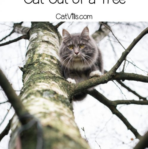 grey cat trying to climb down a tall tree but cat stuck in a tall tree but How to get a cat out of a tree?