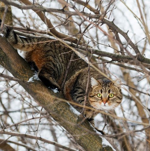 tiger cat trying to climb down the tall tree
