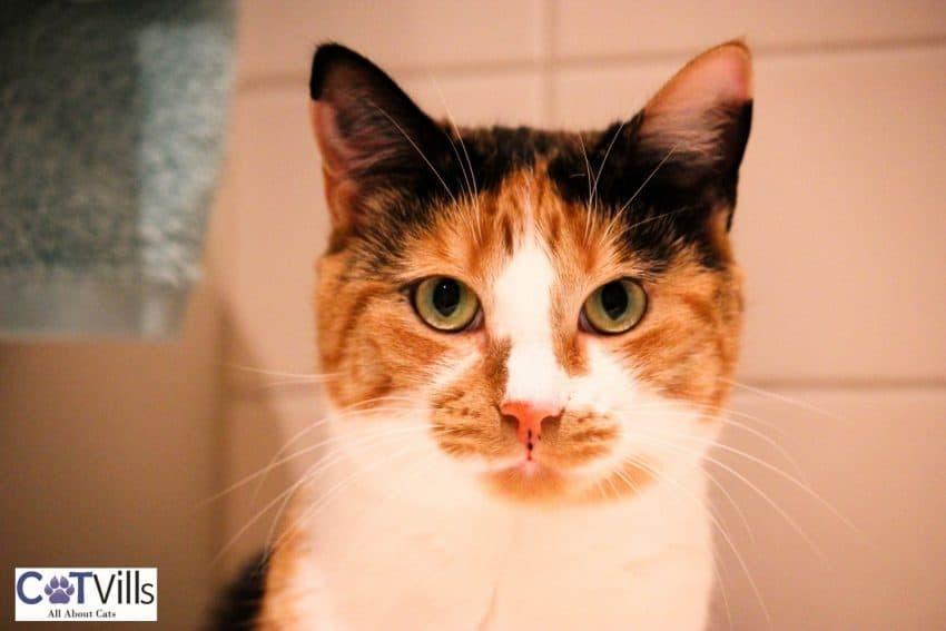 pretty orange tortoiseshell cat suitable for any Tortoiseshell Cat Names