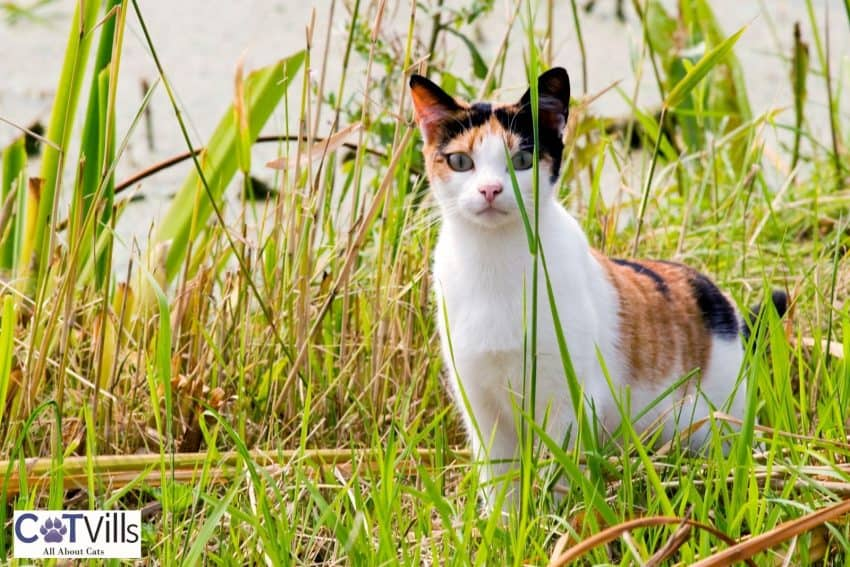 tortoiseshell cat behind the grasses