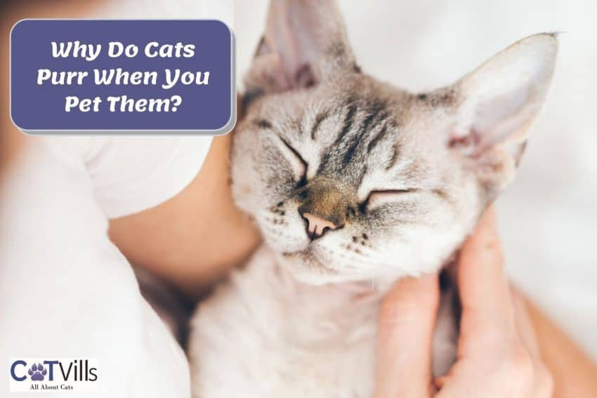 cat being stroked by her owner but why do cats purr when you pet them?