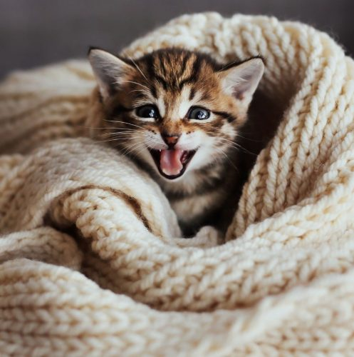 a crying kitten covered by a knitted blanket