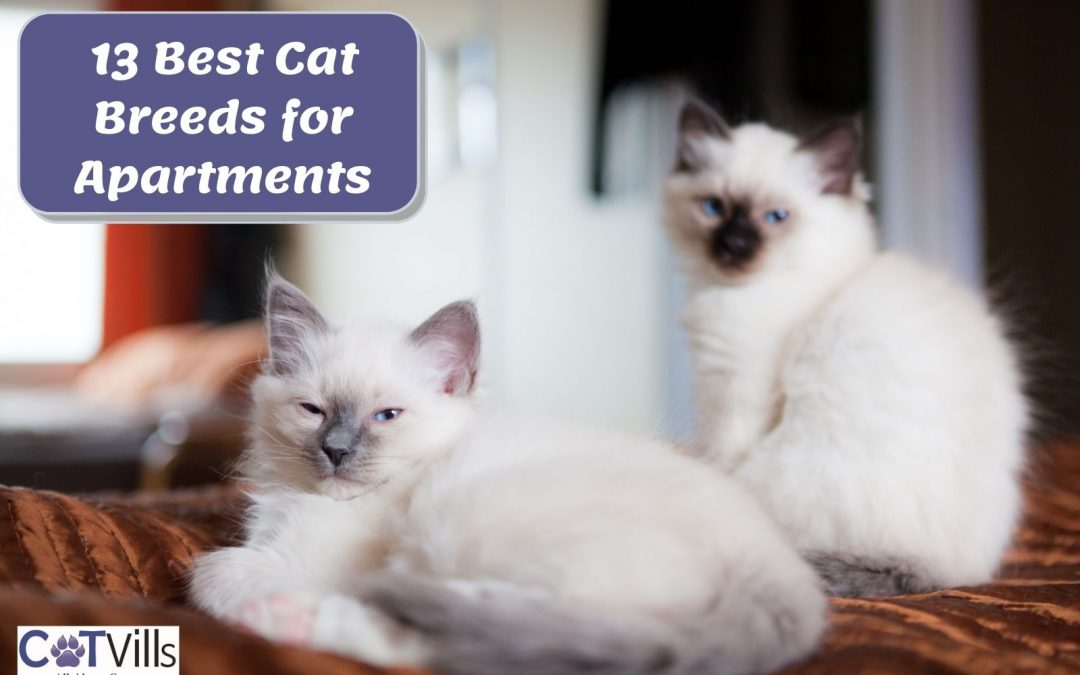 11 Cat Breeds for Apartments + Tips to Make Them Suitable