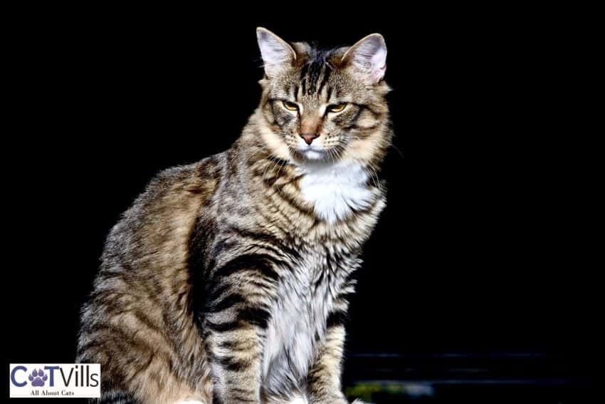 a handsome male tiger cat