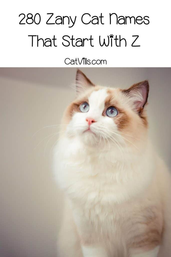 gorgeous ragdoll cat looking up