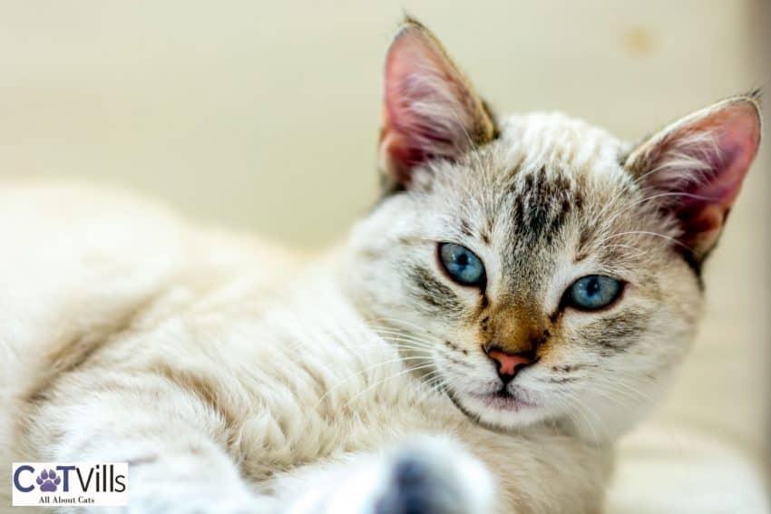 female kitten with blue eyes lying on her back