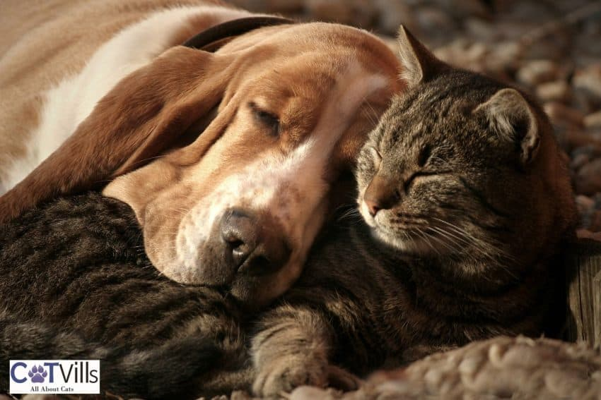 a cat sleeping with his dog friend