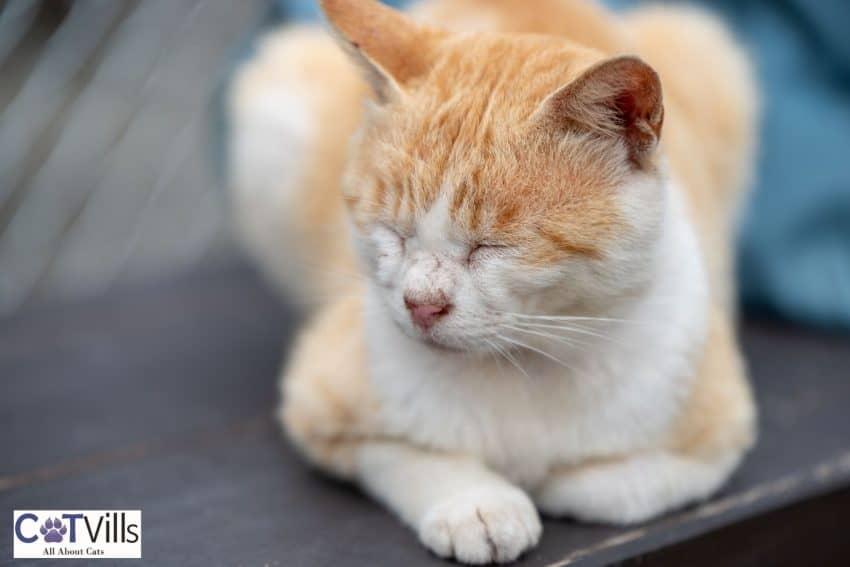 ginger cat on a loaf position