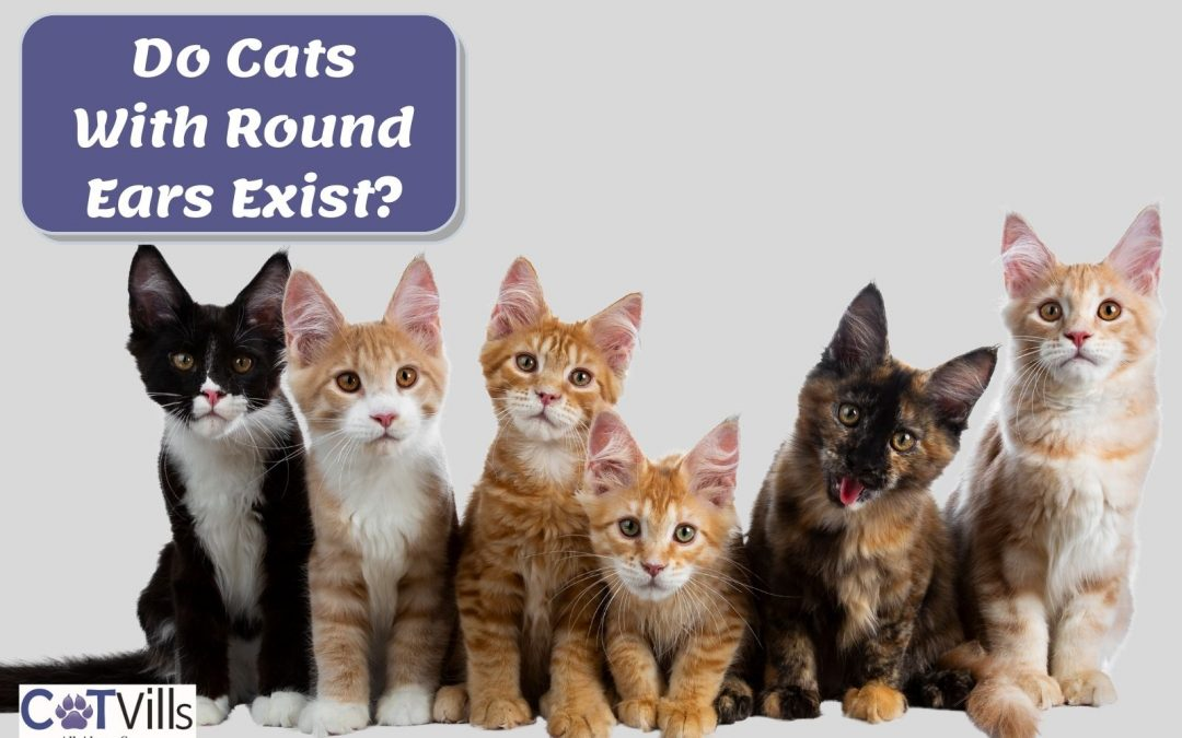 Do Cats With Rounded Ears Exist? (Other Unique Breeds)